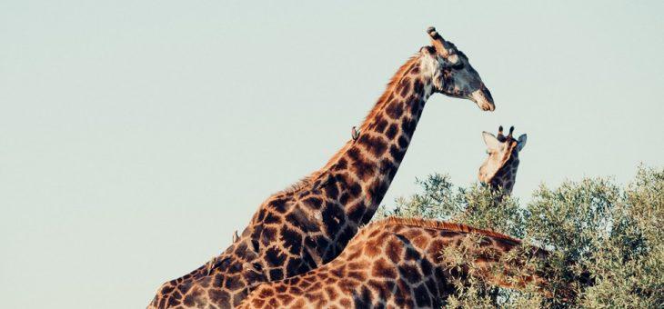 Faire les meilleurs safaris durant un circuit en Afrique